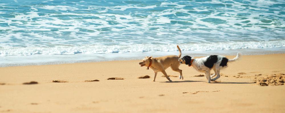 buddyandbello_palmadog_beach.png
