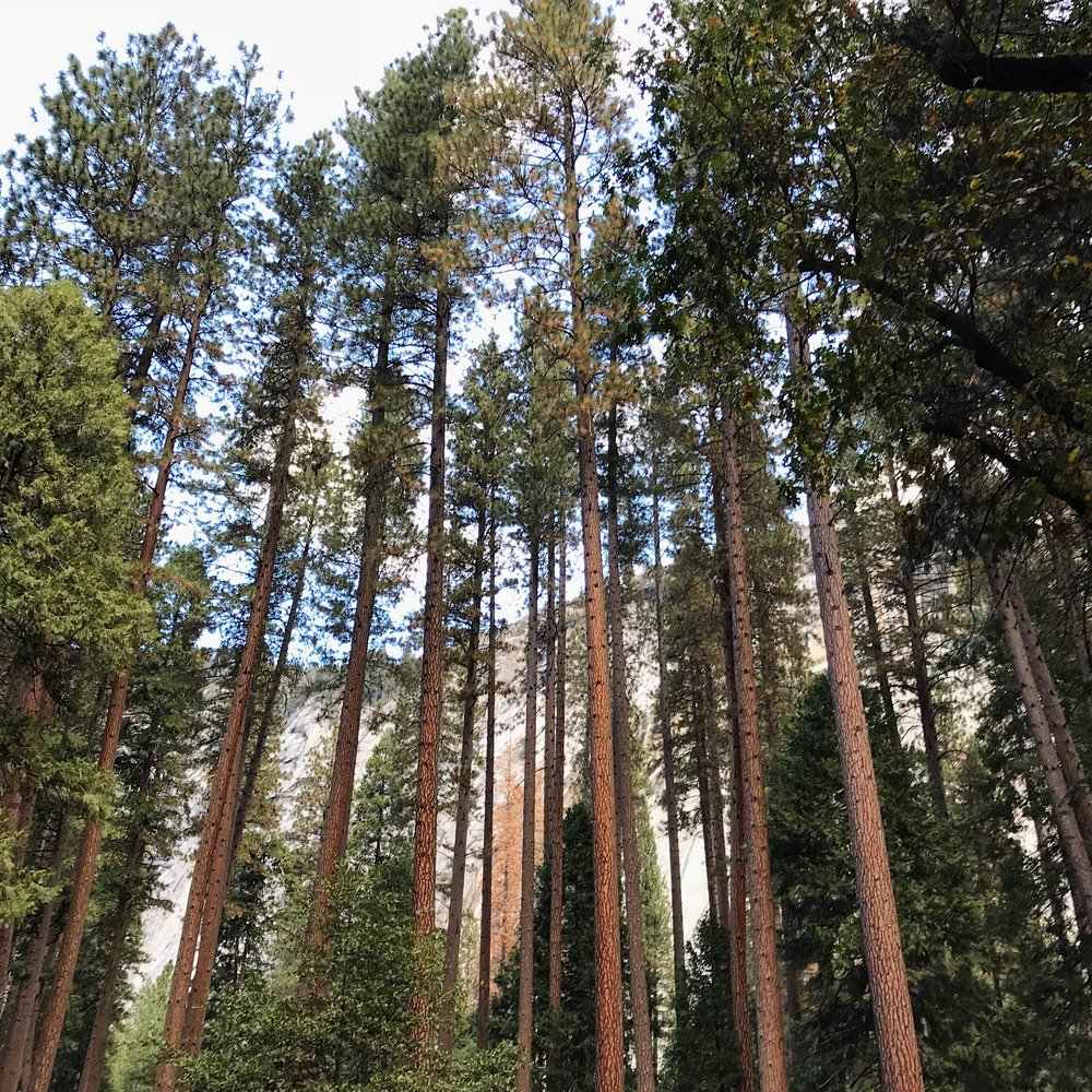 *PineTrees.JPG