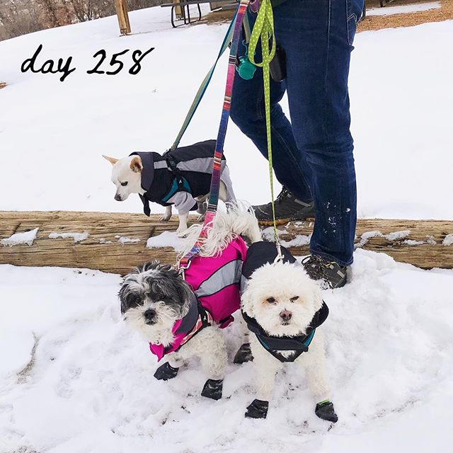 ◂◂ⓓⓐⓨ ❷❺❽▸▸ MooMoo sure does love to run around in the snow! We put her in a jacket and booties and she was off! The boys though, not so much... ⠀⠀⠀⠀⠀⠀⠀⠀⠀ ⠀⠀⠀⠀⠀⠀⠀⠀⠀ ⠀⠀⠀⠀⠀⠀⠀⠀⠀ ⠀⠀⠀⠀⠀⠀⠀⠀⠀ ⠀⠀⠀⠀⠀⠀⠀⠀⠀ ⠀⠀⠀⠀⠀⠀⠀⠀⠀ ⠀⠀⠀⠀⠀⠀⠀⠀⠀ #travelswithletwinkie #airstream #airstreamlife #airstreamadventures #homeonwheels #homeiswhereyouparkit #tinyliving #liveriveted #myliverivetedlife #lifestyledesign #mytravelgram #travelcouple #lifeontheroad #travellifestyle #nomadiclife #rvliving #fulltimetravel #livelifecolorfully #livingourbestlife #roadwarriors360 #travelmore #lovetotravel #getupandgo #wonderfulplaces #openmyworld #campingwithdogs #travelingwithdogs #dogsofinstagram #dogstagram #dogsfordogs