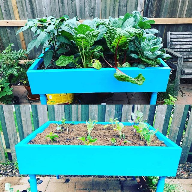 They grow up so fast.....And boy are they delicious! #garden #homemade #health  #kale #swisschard #collardgreens #jalepenos