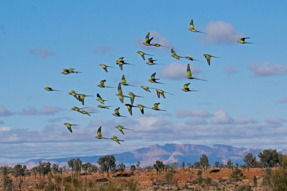 Flock of Princess Parrots with Mount Liebig in background_Lisa HArris.jpg
