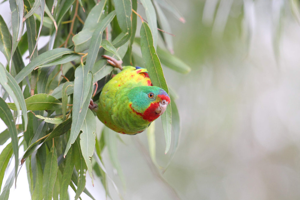 Swift Parrot 9065 HR -website edit.jpg