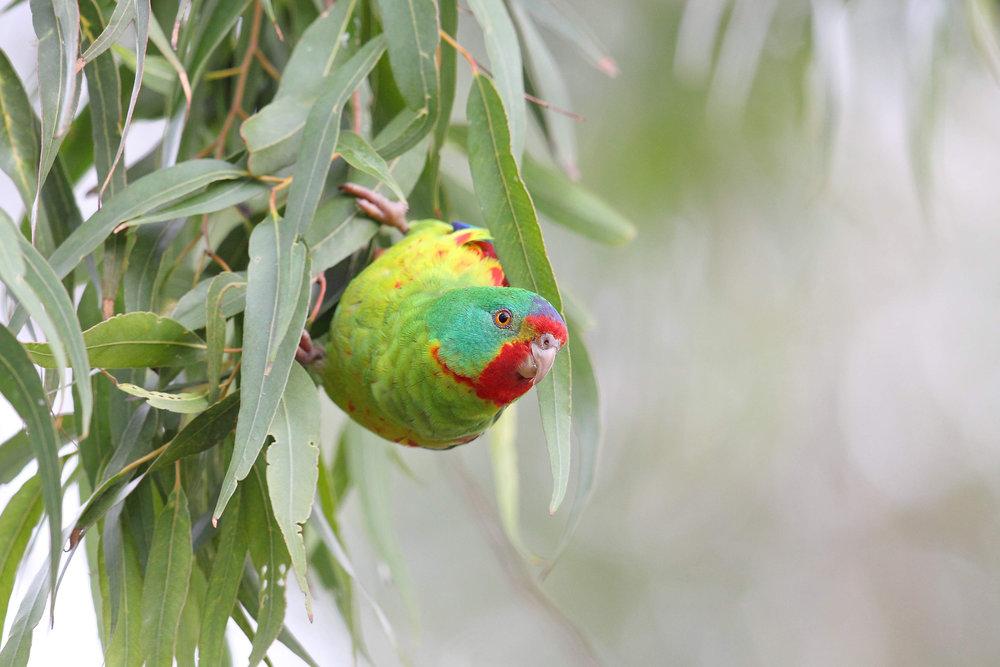 Swift parrot.jpeg