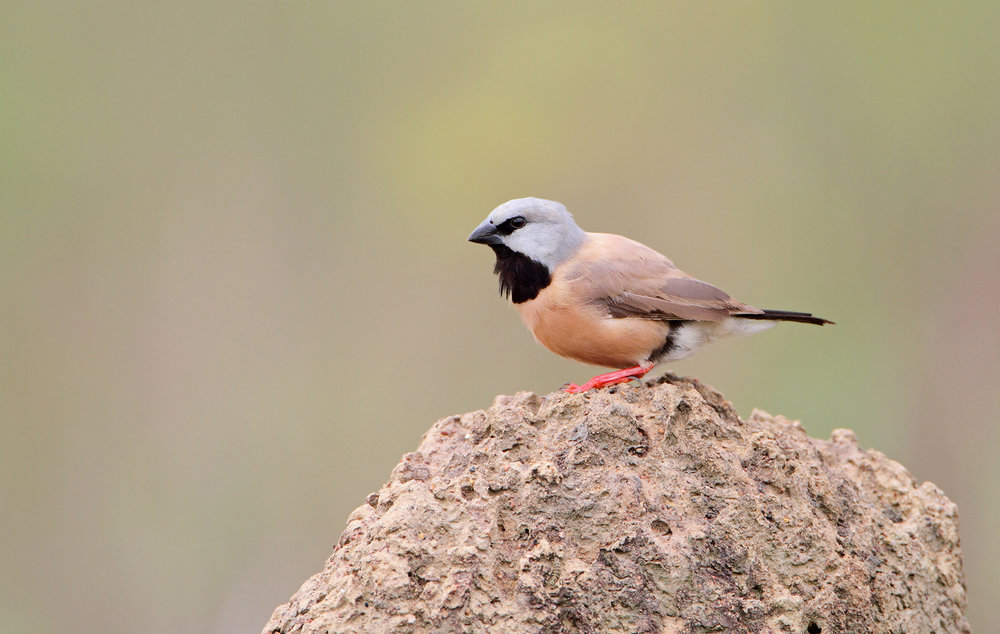 Black-throated Finch 2.jpeg