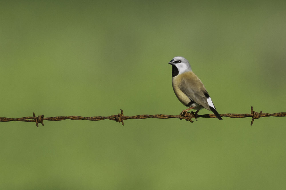 Black-throated Finch 2 - web edit.jpg