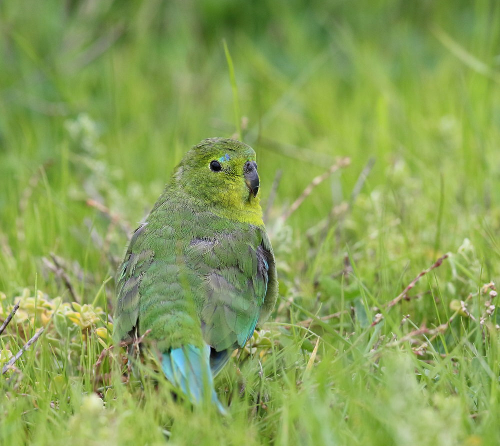 Orange-bellied Parrot_WTP_June17_0U7A8228.JPG