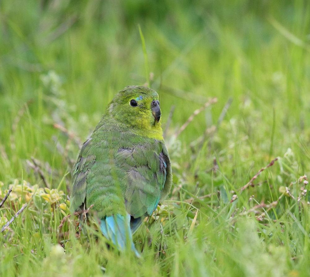 Orange-bellied Parrot_WTP_June17_0U7A8228.JPG