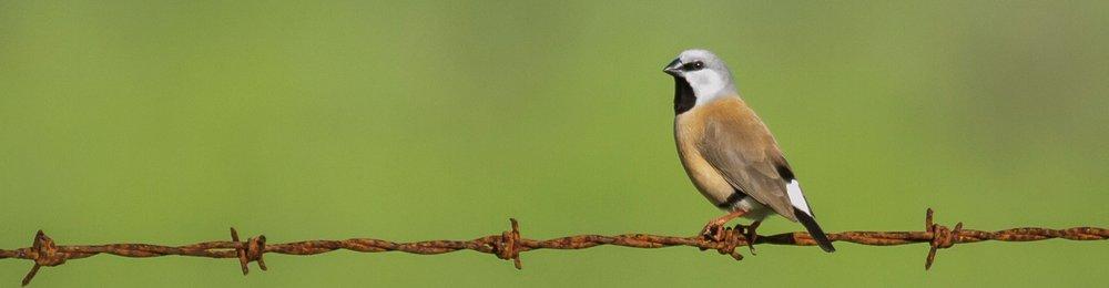 Black-throated Finch resize.jpg