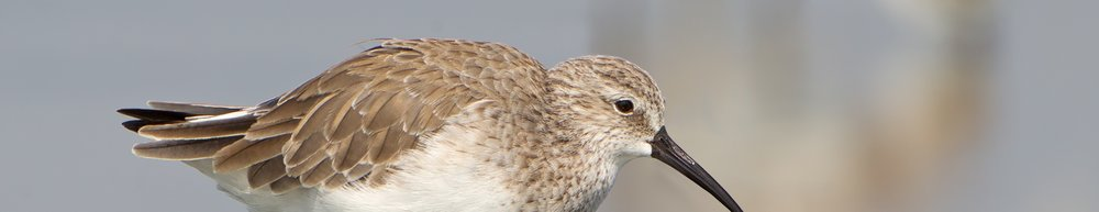 Calidris_ferruginea,_winter_adult,_Pak_Thale.jpg