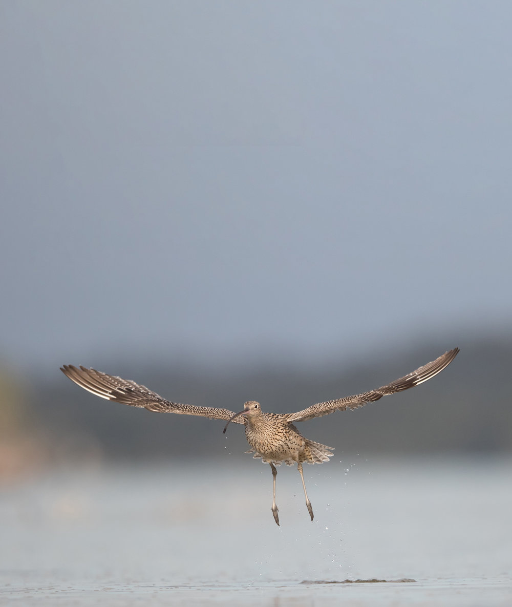 Eastern Curlew by Simon BlanchFlower - edited - small.jpg