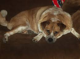 Obese Dog.jpeg