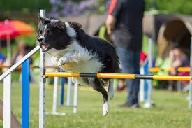 dog-agility.jpeg