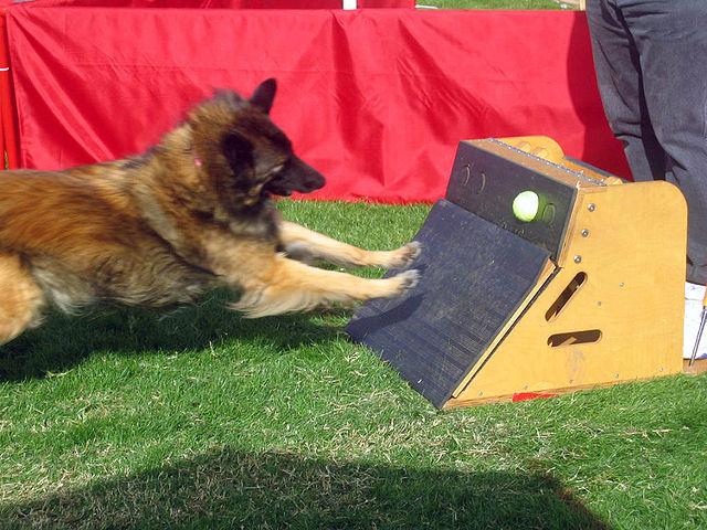 dog-flyball.jpg