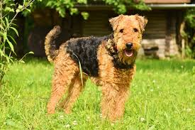 airedale terrier.jpeg