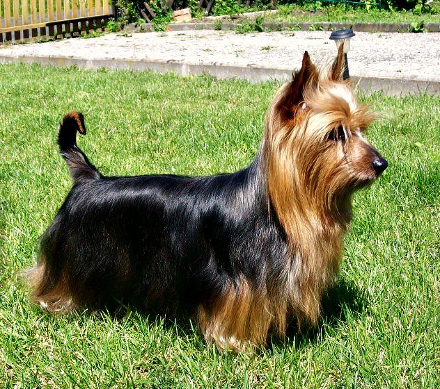 Australian_Terrier.jpg