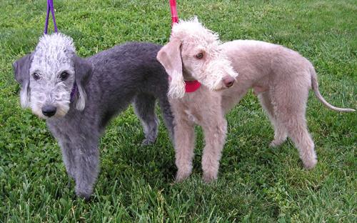 Bedlington_Terriers.jpg