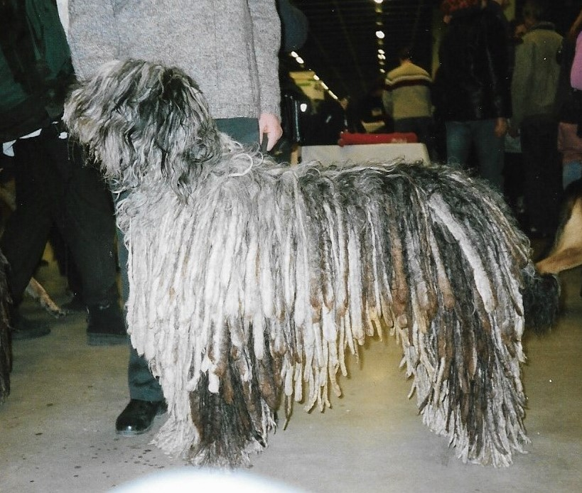 Bergamasco_Sheepdog.jpg