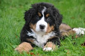 bernese-mountain-dog.jpeg