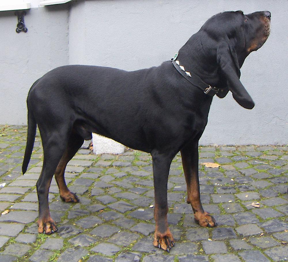 Black_and_Tan_Coonhound.jpg