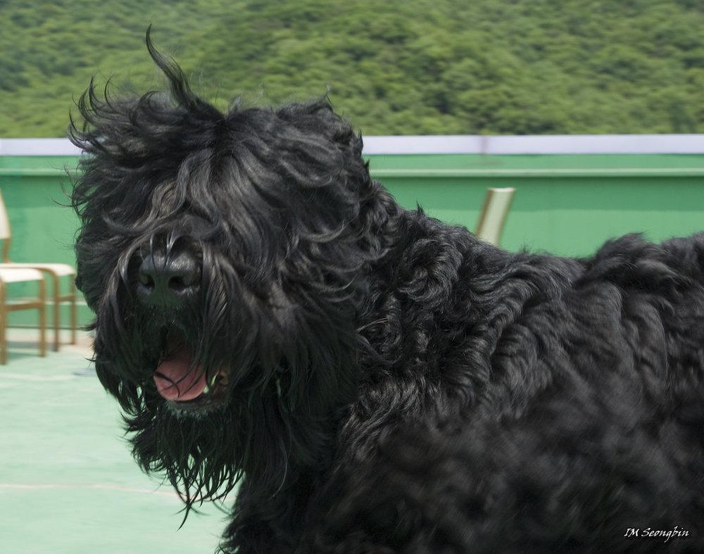 black-russian-terrier.jpg