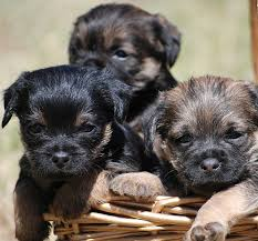 Border Terrier.jpeg