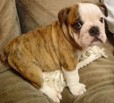 bulldog.jpeg