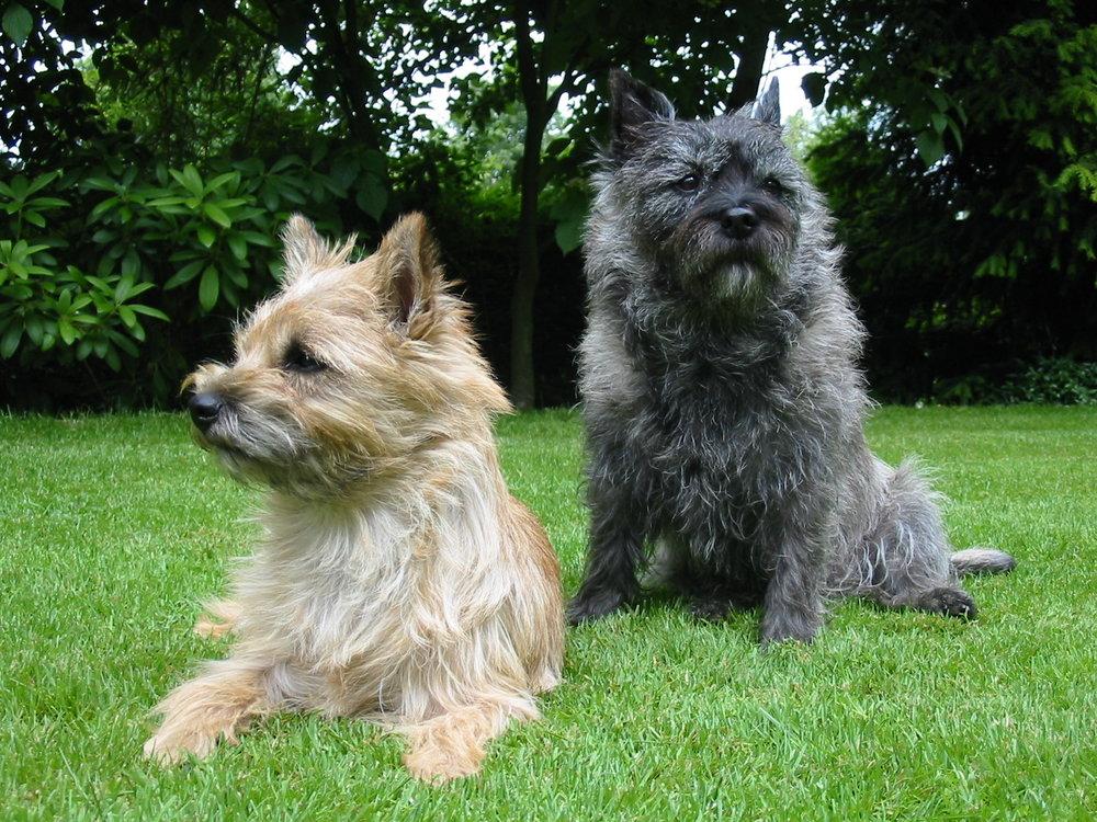 Cairn-Terrier.jpg