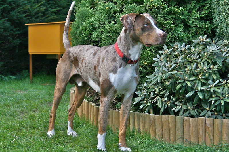 Louisiana_Catahoula_Leopard_Dog.jpg
