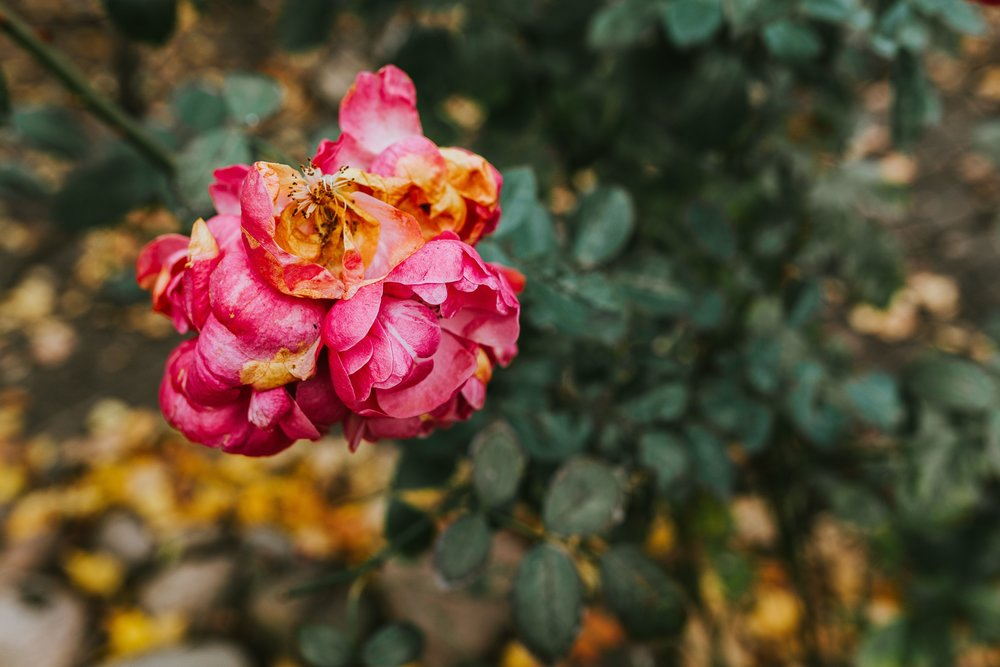 kaboompics_Pink flower in an autumn garden.jpg