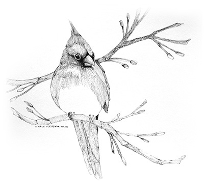 sketches_0007_cardinal_sketch.jpg
