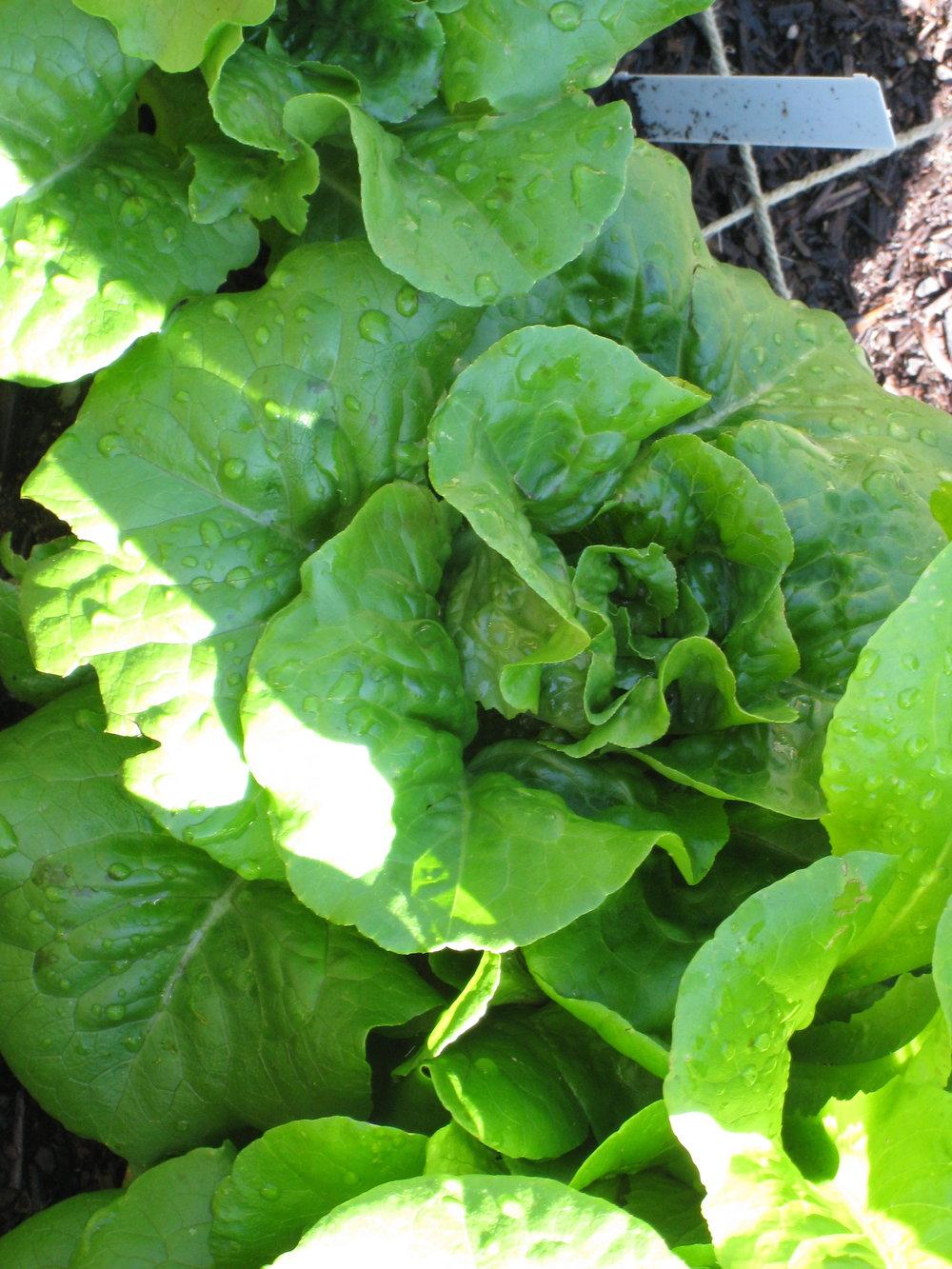 Bibb-lettuce.jpg