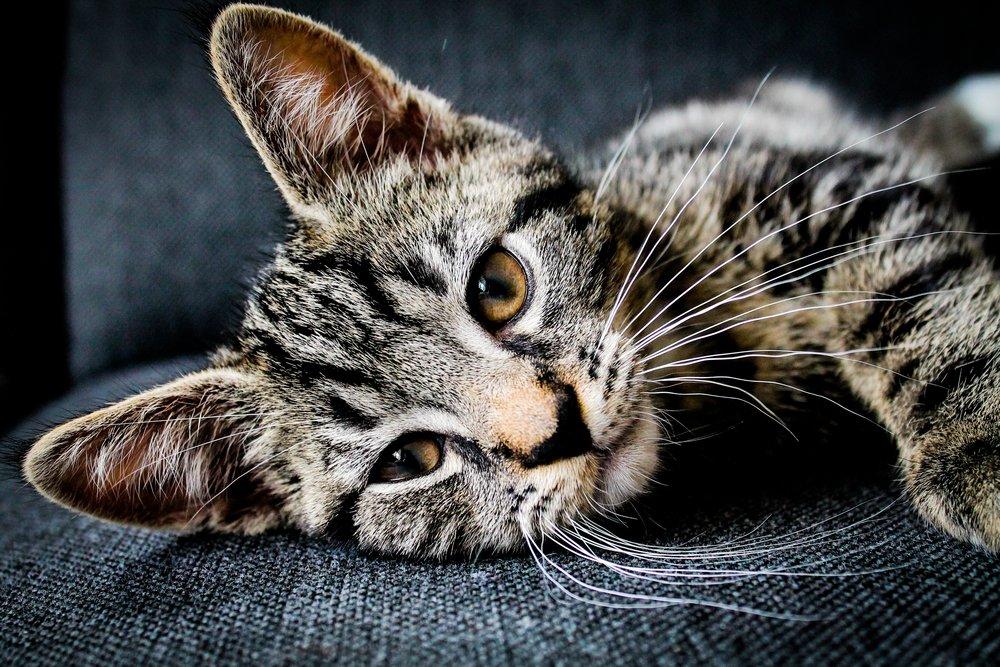 adopt a cat taos