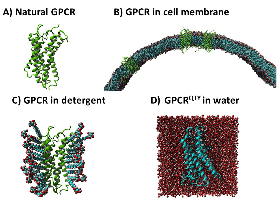 Water-soluble QTY-variant GPCRs retain form and ligand binding activity in water.
