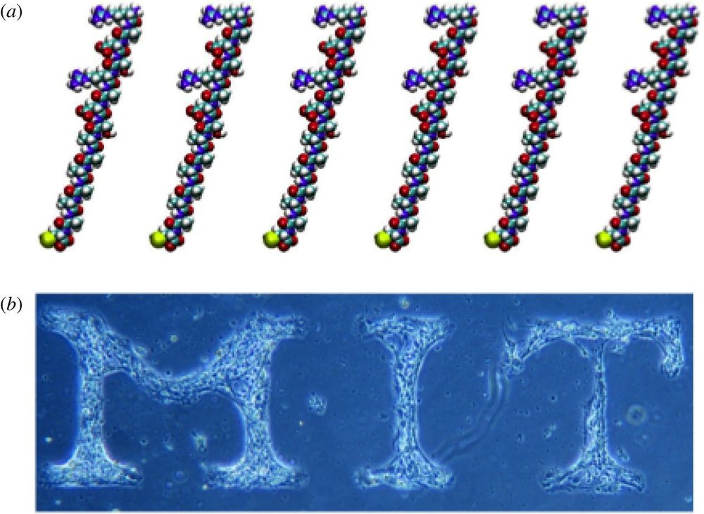 Designed surface self-assembling peptides.