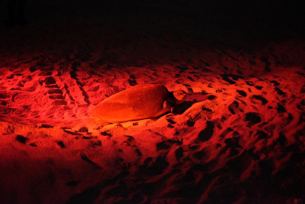Havssköldpadda på stranden