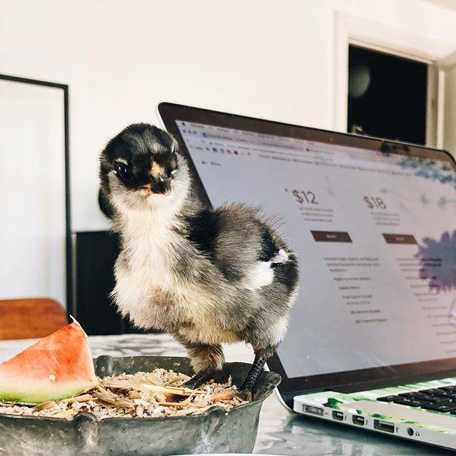 Skæbnen (🦊) ville, at jeg fik en lidt alternativ - men virkelig cute! -sparringspartner ved computeren her til formiddag. Om lidt må vi dog holde pause, for så skal den møde sin nye adoptivmor (som er en ægte høne). 😍/😭 (😅) Kh. Hønemor (... og hvis du ikke kan få nok kylling, kan du se mere ovre på min personlige @sandraengen story 🙋🏼♀️) . . . . . . . . #livetsomselvstændig #livetisaunte #frabytilland #forældreløskylling #1ugegammel #nordkystgrafisk #saunte #hornbæk #nordkysten #nordsjælland #hønsehold #engelskaraucana #hønemor #kollega #squarespace #kælekylling
