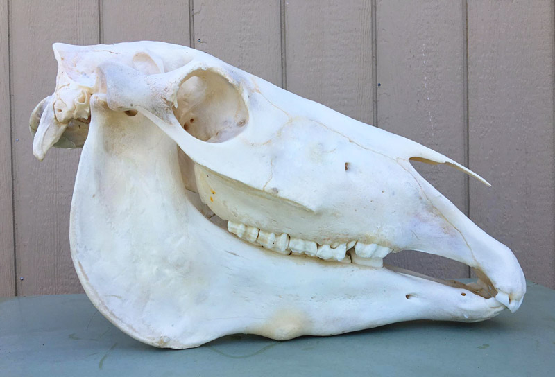 horse-skull-right-view-sm.jpg
