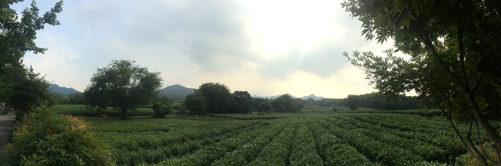 Longjing Tea plantations