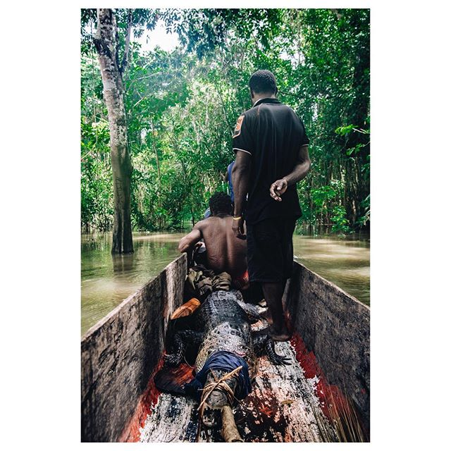 Coming back from a #crocodilehunter in the swamp of the #sepik. They share the meat with the #comunity. Around 50 people get feeted from that 2,8 meter giant.