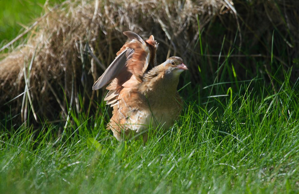 Crofting on Tiree supports a third of our UK Corncrake population.