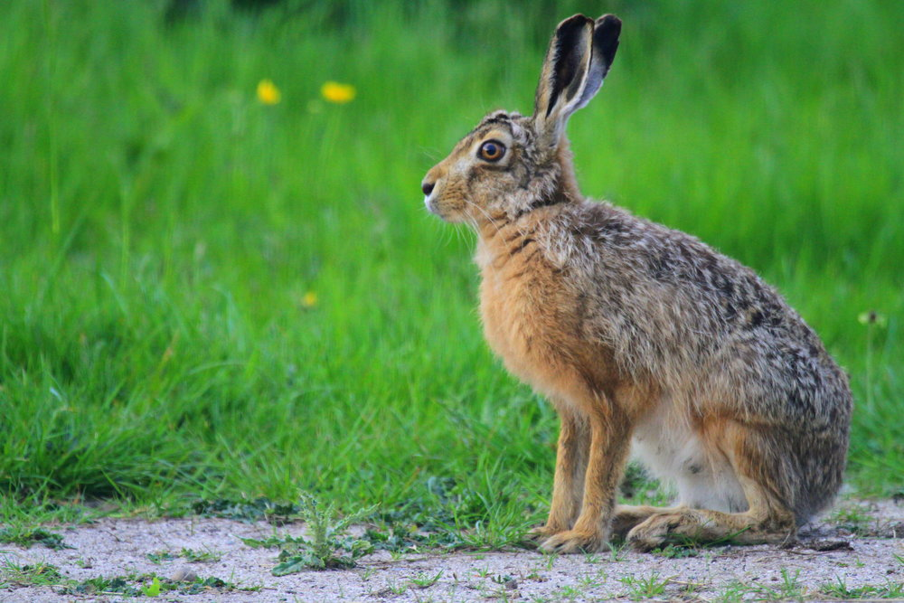 Tiree is famous for its population of introduced Brown Hares.