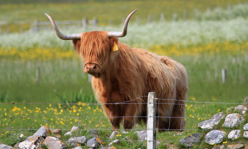 Small-scale, traditional crofting underpins Tiree's incredible biodiversity.
