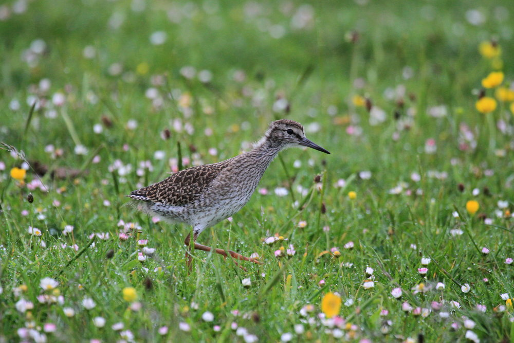 This Redshank chick is just one of the many groundnesting birds that breed on Tiree.