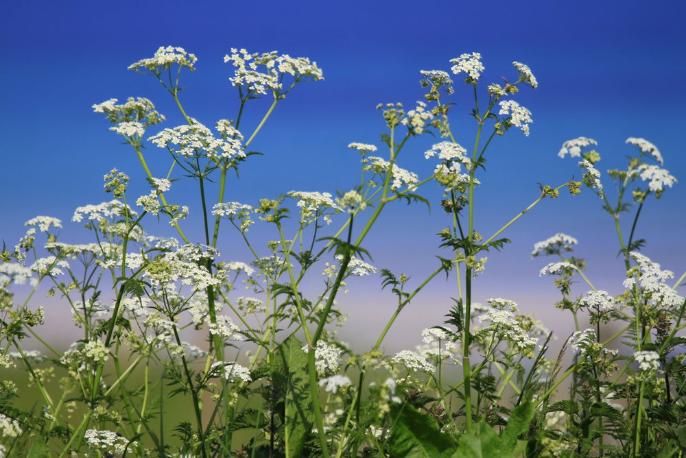 Wildflower vereges along Traigh Sorobidh.