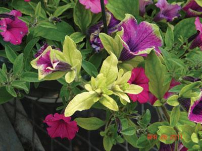High pH petunias.jpg