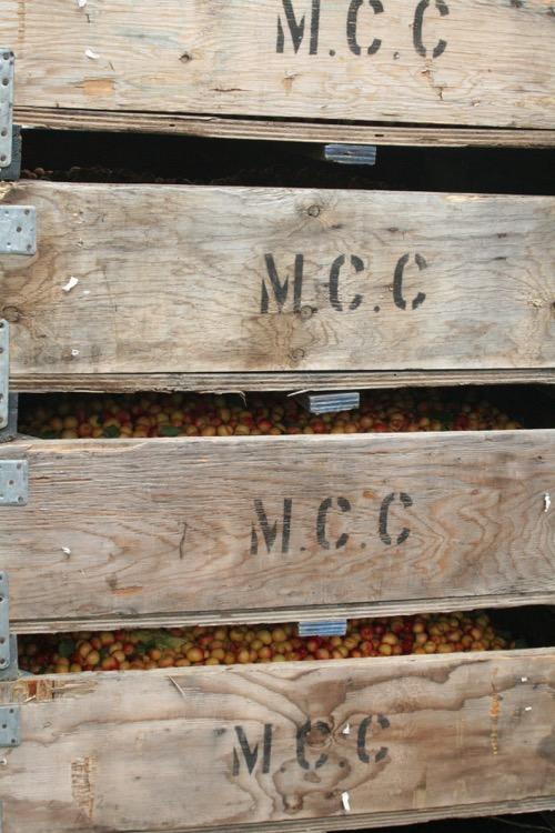 bins of cherries.jpg