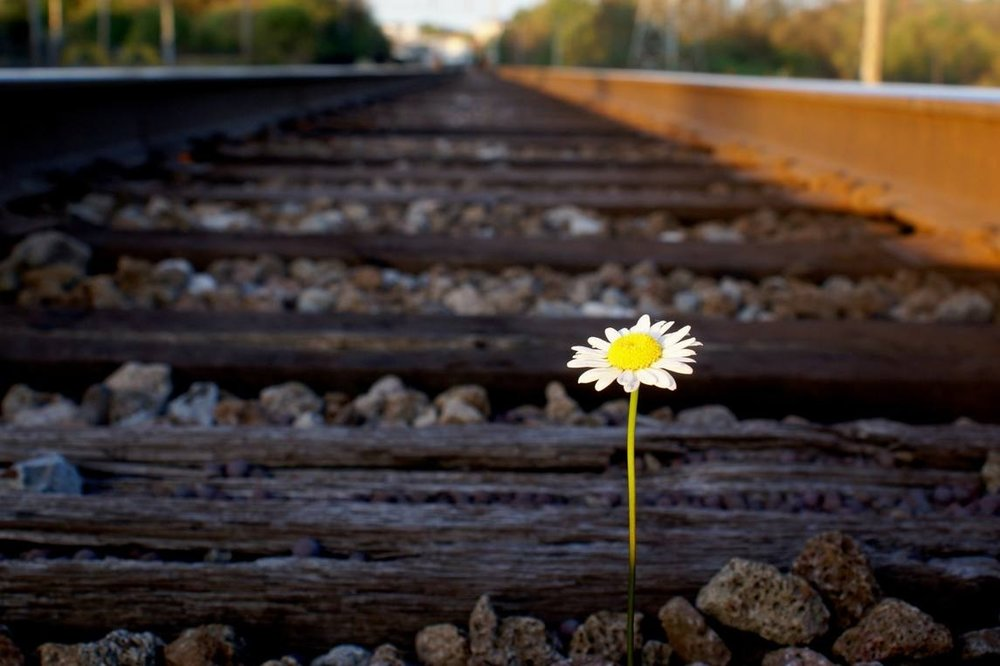 daisy-on-railroad-track.jpg.1145x0_q71_crop-scale.jpg