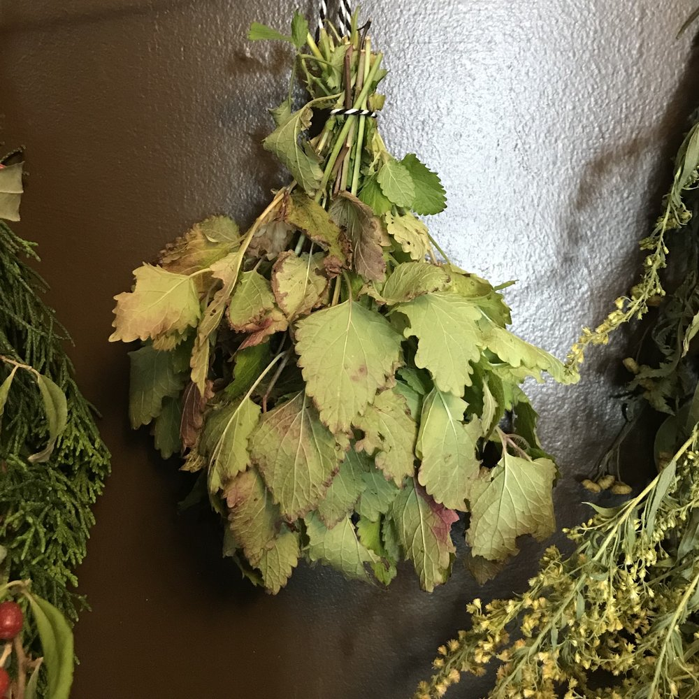 Drying homegrown lemon balm for an autumn salve.