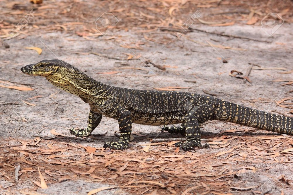 monitor-lizard-clipart-goanna-16.jpg
