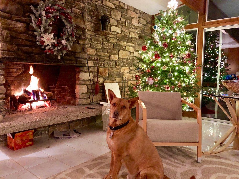 My Christmas pup, Arlo.